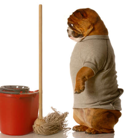 poo: english bulldog standing up beside mop and bucket - janitor Stock Photo