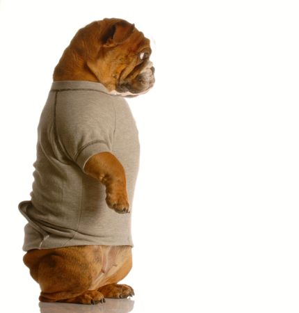 sweatsuit: english bulldog standing up looking down wearing grey flannel sweatsuit Stock Photo