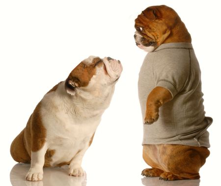 huh: english bulldog looking down at another one that has it face turned up with a kissing face  Stock Photo