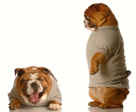 english bulldog standing up looking down at bulldog laughing concept of joke of bullying photo