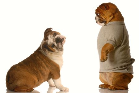 huh: two english bulldogs in a silly dog fight