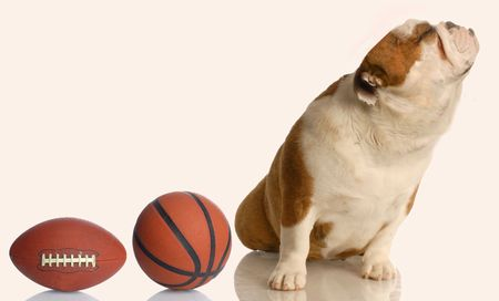 spoiled english bulldog turning her nose up at toys - spoiled dog Stock Photo