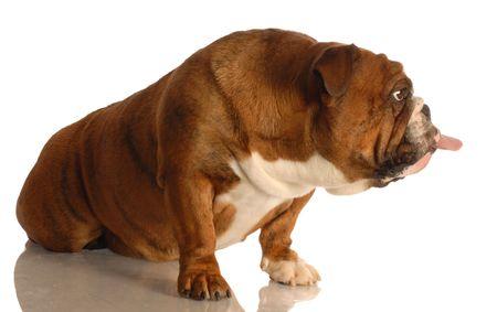 sticking tongue: Ingl�s bulldog pegando lengua aislada sobre fondo blanco Foto de archivo