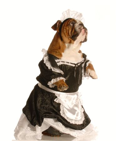 english bulldog dressed up as a maid isolated on a white background photo