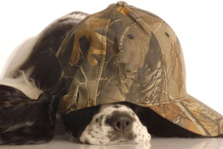 conformation: american cocker spaniel wearing camouflage ball cap