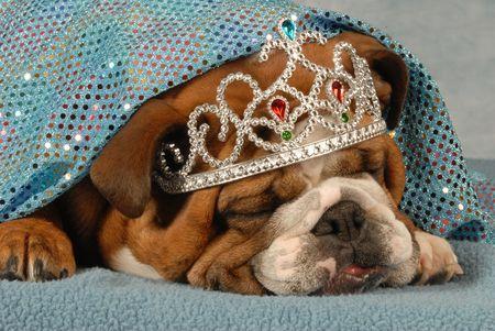 spoiled english bulldog wearing tiara sleeping under sparkling blue blanket photo