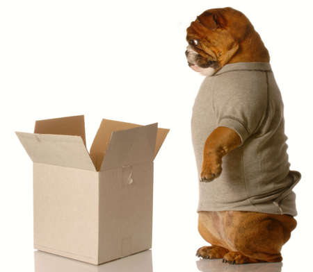 pack animal: english bulldog standing looking down into cardboard box - shipping or moving concept Stock Photo