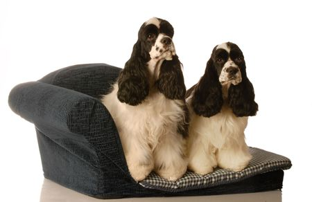 two american cocker spaniel dogs sitting on a doggy couch - matched pair photo