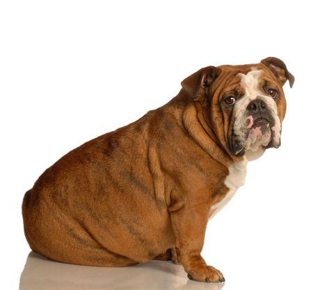 huh: red brindle english bulldog sitting isolated on white background