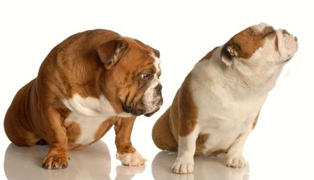argues: funny dog fight - two english bulldog arguing