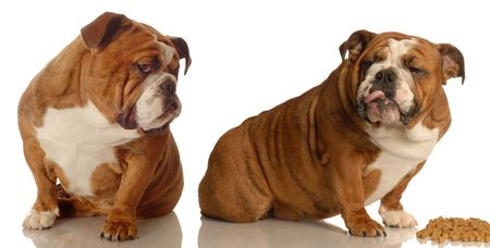 criticising: two english bulldogs arguing over dog food   Stock Photo