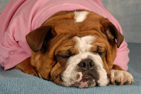 sweatsuit: english bulldog laying down with cute expression dressed in pink sweatsuit