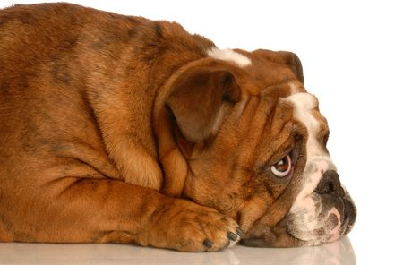 stocky: red brindle english bulldog laying down looking upwards with adorable expression
