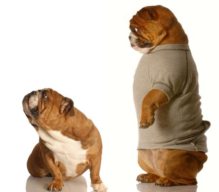 two bulldogs fighting - concept of arguing with a parent photo