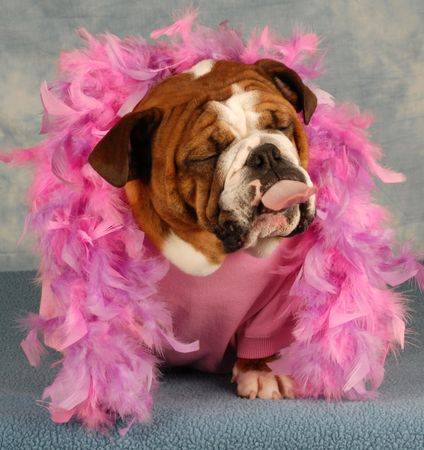 surly: spoiled dog with pink boa and tongue sticking out