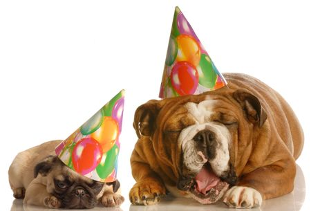 an english bulldog and a pug wearing birthday hats complaining about the situation
