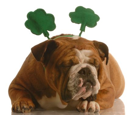 st. patricks day - english bulldog wearing st. patricks day headband Stock Photo - 4345385