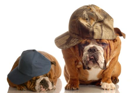 bloodlines: two english bulldogs dressed up with baseball caps Stock Photo