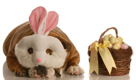 english bulldog dressed up as easter bunny with basket isolated on white background photo
