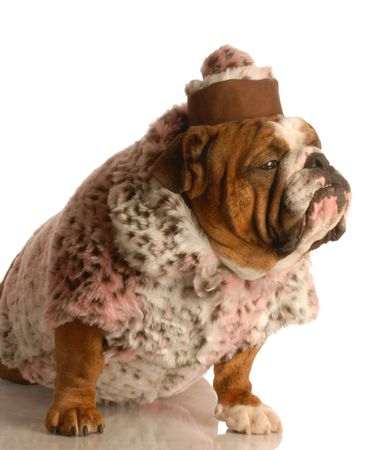 english girl: english bulldog wearing pink fur coat and pill box hat  Stock Photo