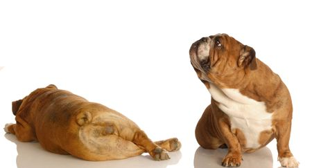 english bulldog sniffing up in the air at another dogs backside - dog fart photo