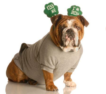 st. patricks day - english bulldog wearing kiss me im irish headband Stock Photo - 4388935
