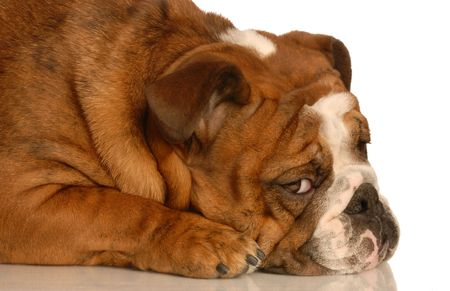 humiliated: adorable english bulldog with guilty expression isolated on white background