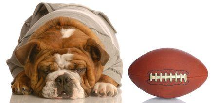 adorable english bulldog wearing sweatsuit with football isolated on white background   photo