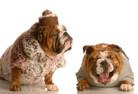 misfit: bulldog bullying - bulldog laughing hysterically at another one wearing silly fur coat and hat Stock Photo
