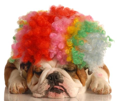 conformation: english bulldog with colorful clown wig isolated on white background