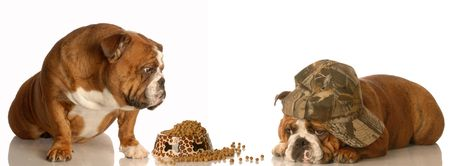 spiteful: english bulldog looking on as another dog eats