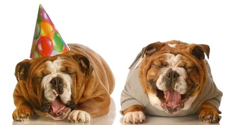 groaning: one english bulldog laughing at another groaning wearing a silly birthday hat