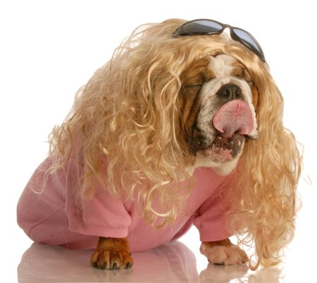 funny dog dressed in drag - english bulldog dressed up as a beautiful blonde woman Stock Photo - 4432326