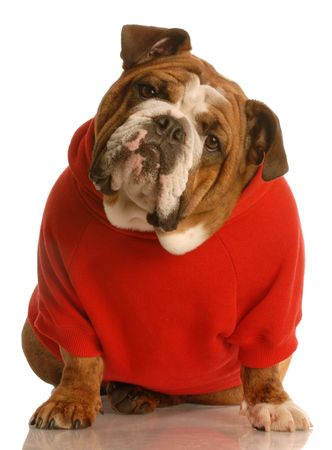stitting: adorable english bulldog sitting wearing red sweater isolated on white background
