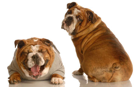 does this tail make my butt look fat - two english bulldog with funny looking expressions isolated on white background