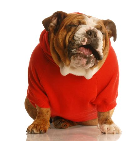 though: english bulldog in red sweater making sour face as though tasting something disgusting