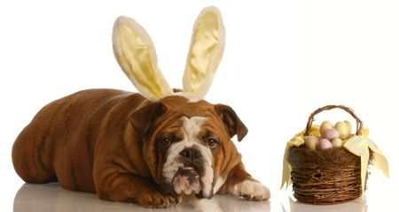 english bulldog with bunny ears and easter basket photo