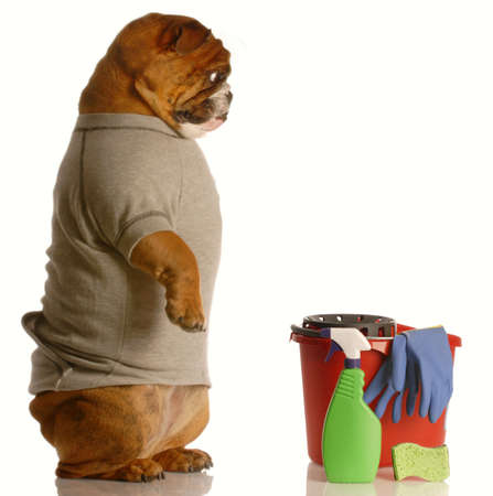poop: english bulldog standing up beside bucket and cleaning supplies - janitor