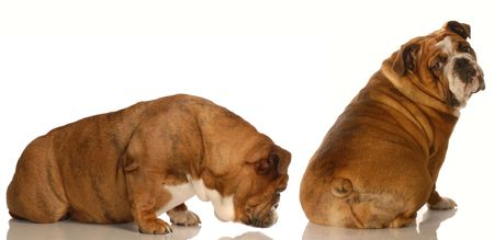 huh: english bulldog sniffing at another dogs backside - animal behaviour