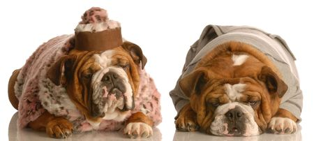 senior looking dog couple - two english bulldog dressed up as a senior dogs photo