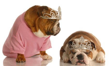 spoiled dogs - two english bulldogs wearing tiaras photo