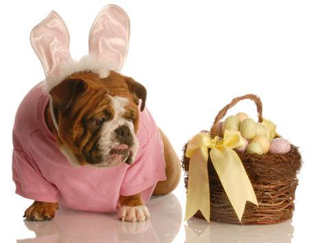 bunny ears: bulldog ingl�s con orejas de conejo y cesta de Pascua   Foto de archivo