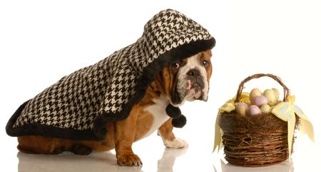 english bulldog wearing cape ready to deliver easter basket photo