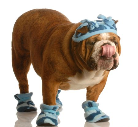 winter fashion: english bulldog standing wearing blue hat and winter boots Stock Photo