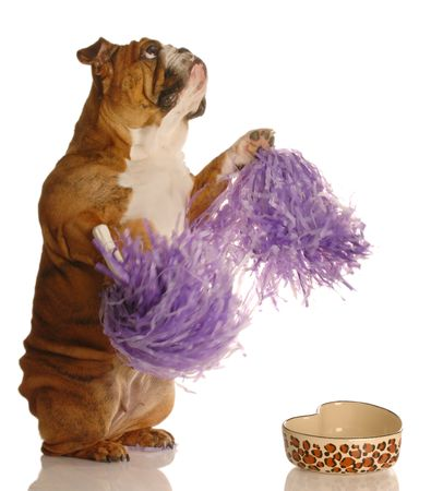 concept of dog begging to be fed - english bulldog cheering for more food photo