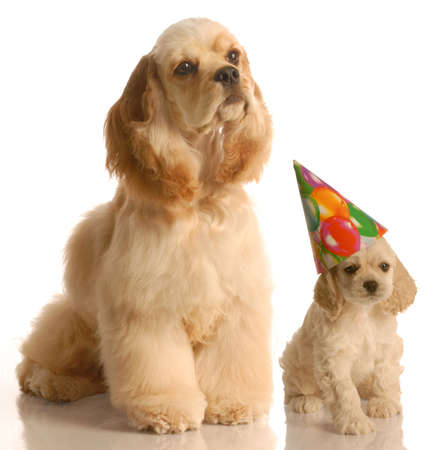 concept of mother and baby at  birthday - cocker spaniel puppy wearing birthday hat