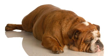 stretched out: english bulldog stretched out sleeping isolated on white background