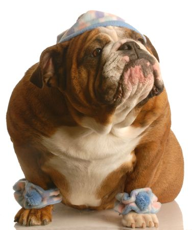 leg warmers: english bulldog wearing cute hat and leg warmers