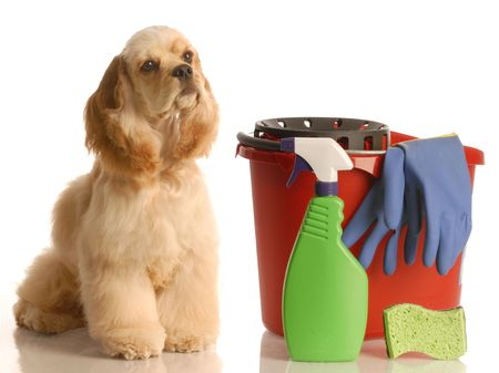 house training a puppy - cocker spaniel sitting beside bucket with cleaning products   photo