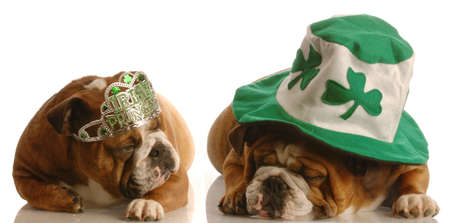 St. Patricks Day couple - two english bulldog dressed up in St. Patricks Day costumes photo